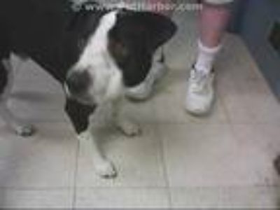 Adopt BEAU a Black - with White Border Collie / Mixed dog in STOCKTON