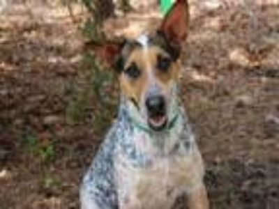 Adopt THELMA a Australian Cattle Dog / Blue Heeler, Mixed Breed
