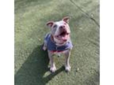 Adopt Marshmallow a American Staffordshire Terrier