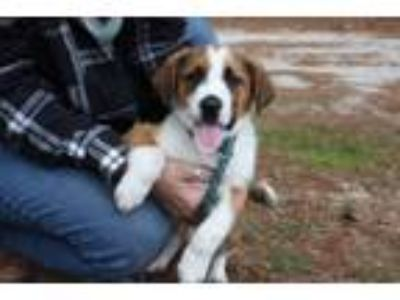 Adopt Brantley a Tan/Yellow/Fawn - with White Collie / Mixed dog in Sagaponack