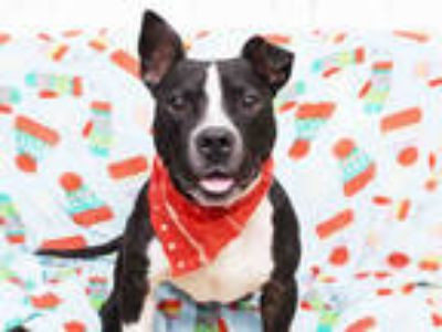 Adopt BING a Black - with White American Pit Bull Terrier / Mixed dog in Toledo
