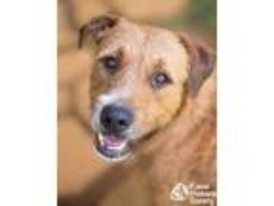 Adopt Bobby a Terrier, Airedale Terrier