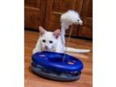 Adopt Casper a Domestic Short Hair, Siamese