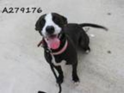 Adopt DIZZY a Whippet, Mixed Breed