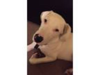 Adopt Opie a White - with Brown or Chocolate Great Pyrenees / Labrador Retriever