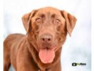 Adopt Carley a Chesapeake Bay Retriever, Chocolate Labrador Retriever