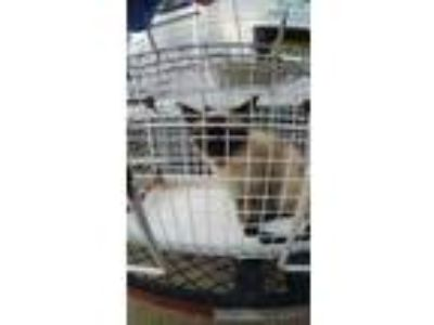 Adopt 41672494 a White Siamese / Domestic Shorthair / Mixed cat in Land O'Lakes