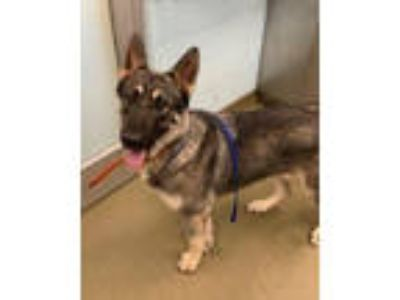 Adopt DELL a German Shepherd Dog