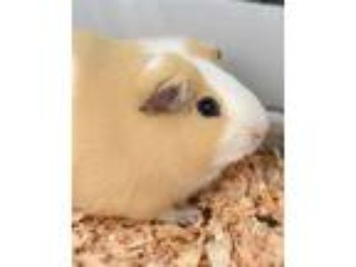 Adopt Wilbur a Guinea Pig small animal in Novato, CA (25939533)