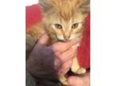 Adopt Buddy a Orange or Red American Shorthair cat in Belleville, IL (25288626)