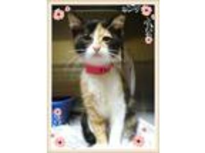 Adopt NIKON a Calico or Dilute Calico Domestic Shorthair (short coat) cat in