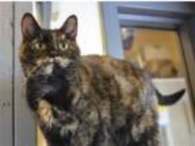 Adopt Lucky a Domestic Shorthair / Mixed (short coat) cat in Versailles