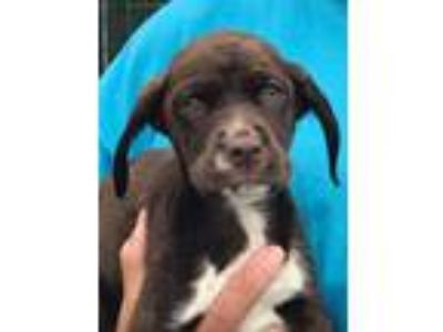 Adopt Persimmon a Brown/Chocolate - with White Pointer / Spaniel (Unknown Type)