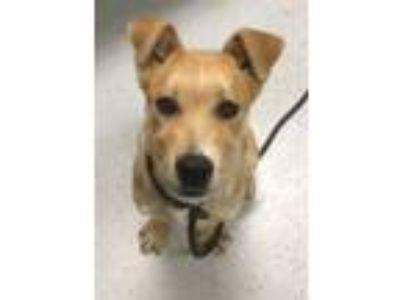 Adopt Ramona a Labrador Retriever / Mixed dog in Bemidji, MN (25313646)