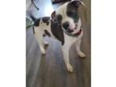 Adopt Conroy a White - with Black American Pit Bull Terrier / Mixed Breed