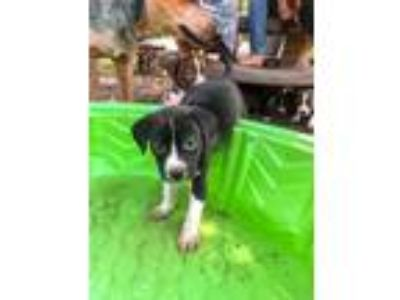 Adopt Carlton Falk a Black - with White Border Collie / Labrador Retriever dog