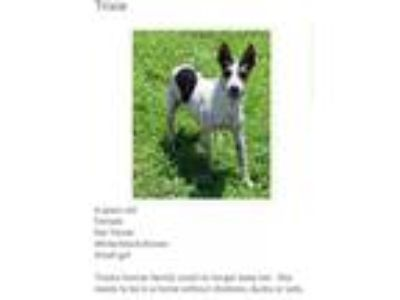 Adopt Trixie a Rat Terrier