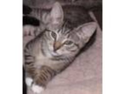 Adopt Tyler a Gray, Blue or Silver Tabby Domestic Shorthair (short coat) cat in
