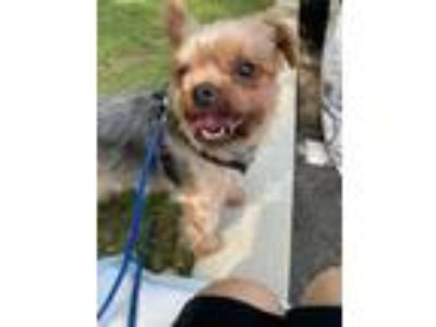 Adopt Snax a Yorkshire Terrier