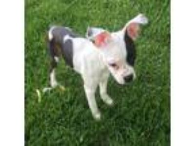 Adopt Ellie May a White - with Black Australian Shepherd / Terrier (Unknown