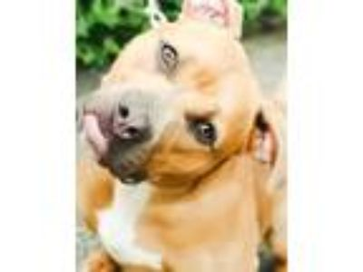 Adopt SPIKE a Brown/Chocolate - with White American Pit Bull Terrier / Mixed dog