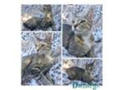 Adopt Daenarys a Domestic Short Hair
