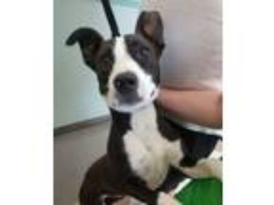 Adopt Border Collie Girl a Border Collie, Pit Bull Terrier
