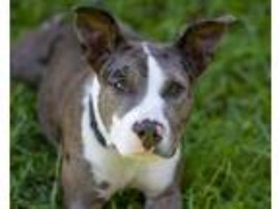 Adopt MONKEY a Merle Catahoula Leopard Dog / Mixed dog in St.