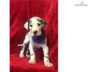 Mad Max - Blue Harlequin Great Dane MALE