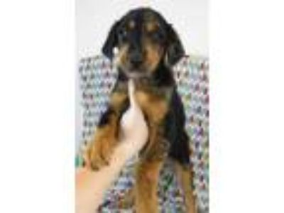 Adopt Endir a Black Australian Shepherd / Mixed dog in Morton Grove