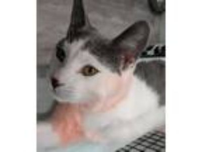 Adopt Nemo a Gray or Blue (Mostly) Domestic Shorthair / Mixed (short coat) cat