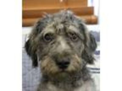 Adopt Adorable Asher a Terrier, Poodle