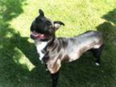 Adopt Dolly a Pit Bull Terrier, Labrador Retriever