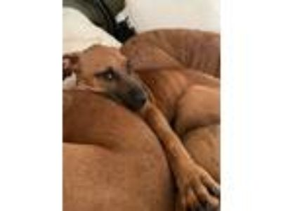 Adopt Percy a Black Mouth Cur, Boxer