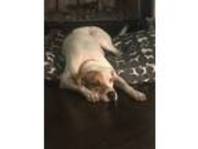 Adopt Molly a White - with Tan, Yellow or Fawn Plott Hound / Mixed dog in