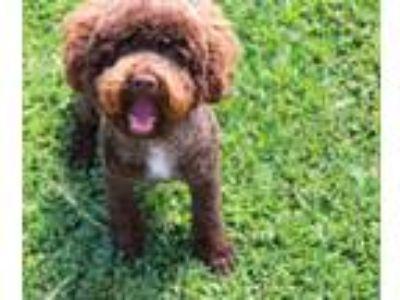 Adopt Roland a Miniature Poodle