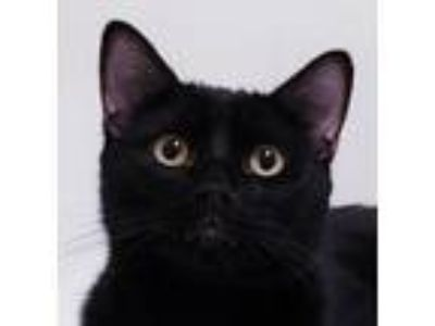 Adopt Peso a Black (Mostly) Domestic Shorthair (short coat) cat in Flower Mound