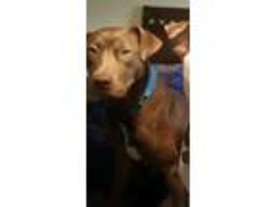 Adopt Hank a Brown/Chocolate American Pit Bull Terrier / Labrador Retriever /