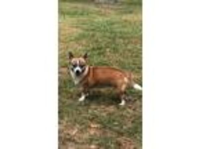 Adopt Thelma a Tan/Yellow/Fawn - with White Corgi / Mixed dog in GREENLAWN