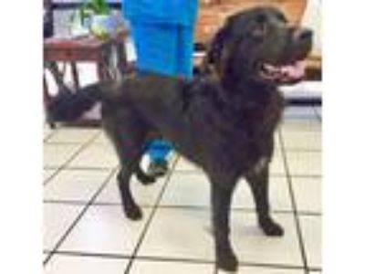 Adopt Comet a Black Flat-Coated Retriever / Mixed dog in BIRMINGHAM