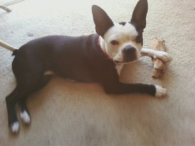 reg. boston terrier stud services wanted for oue little girl