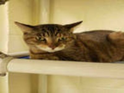 Adopt SNOOPY a Brown Tabby Domestic Shorthair / Mixed (short coat) cat in Vero