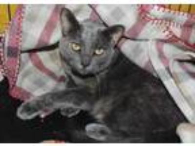 Adopt Pierogi a Brown or Chocolate Domestic Shorthair / Domestic Shorthair /