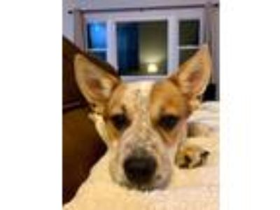 Adopt Sia a Terrier, Cattle Dog