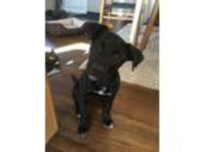Adopt Gambit a Black - with White German Shepherd Dog / Labrador Retriever dog