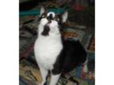 Adopt BUTTON - ADORABLE MANX MAMA RESCUED FROM KILL SHELTER a Manx, Tuxedo