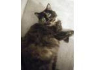 Adopt Merida a Tortoiseshell Maine Coon cat in Battle Creek, MI (25660837)