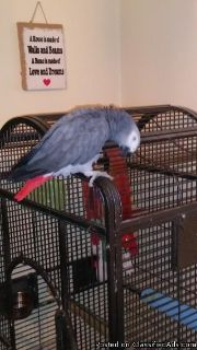 3 Year Old African Grey Very Good Talker
