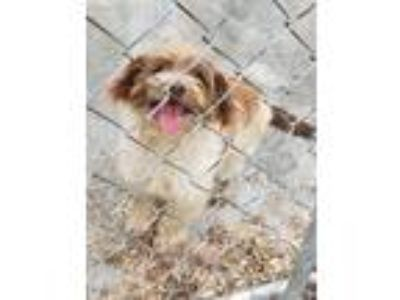 Adopt Brownie a Brown/Chocolate - with White Poodle (Miniature) / Terrier
