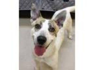 Adopt SAVVY a Australian Cattle Dog / Blue Heeler